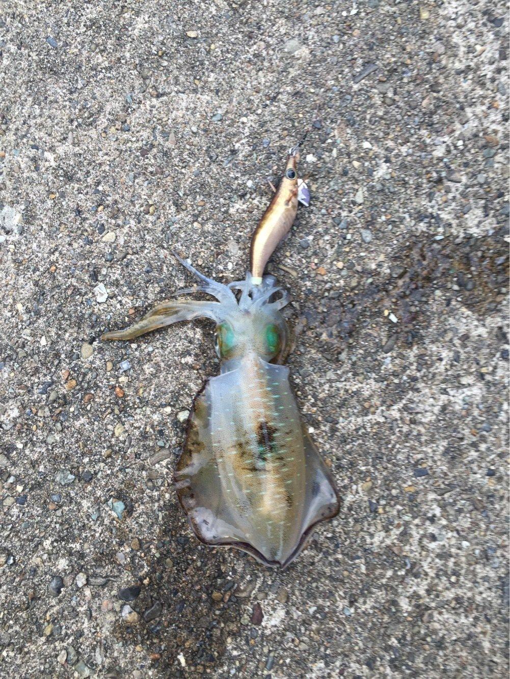 みちおさんの投稿画像,写っている魚はアオリイカ
