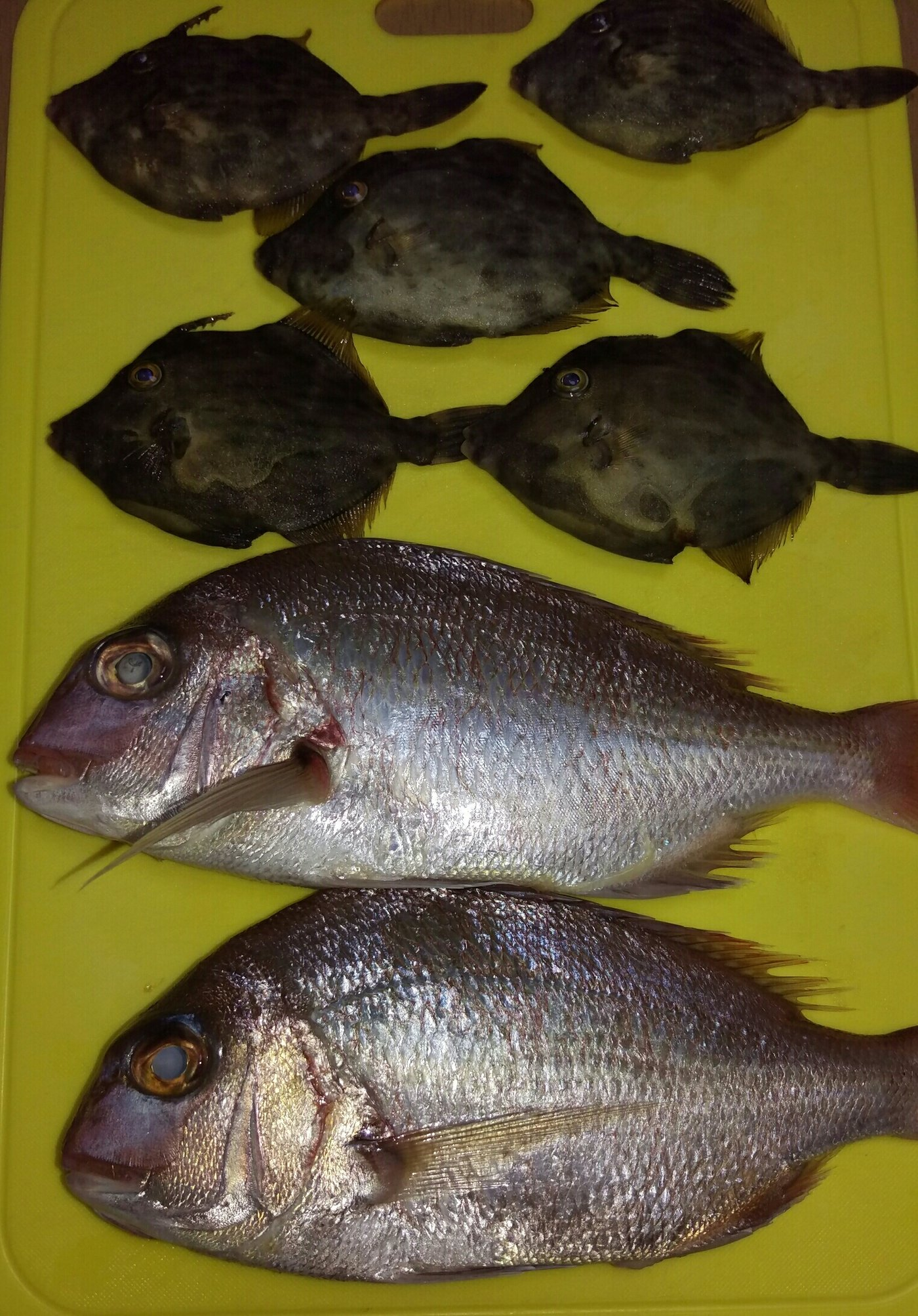 古藤さんの投稿画像,写っている魚はマダイ