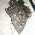 カチュアさんの岩手県宮古市での釣果写真