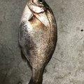 オカラバー12さんのウミタナゴの釣果写真