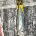 ヒデポンさんの大阪府交野市での釣果写真