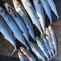 なかむさんの石川県野々市市での釣果写真