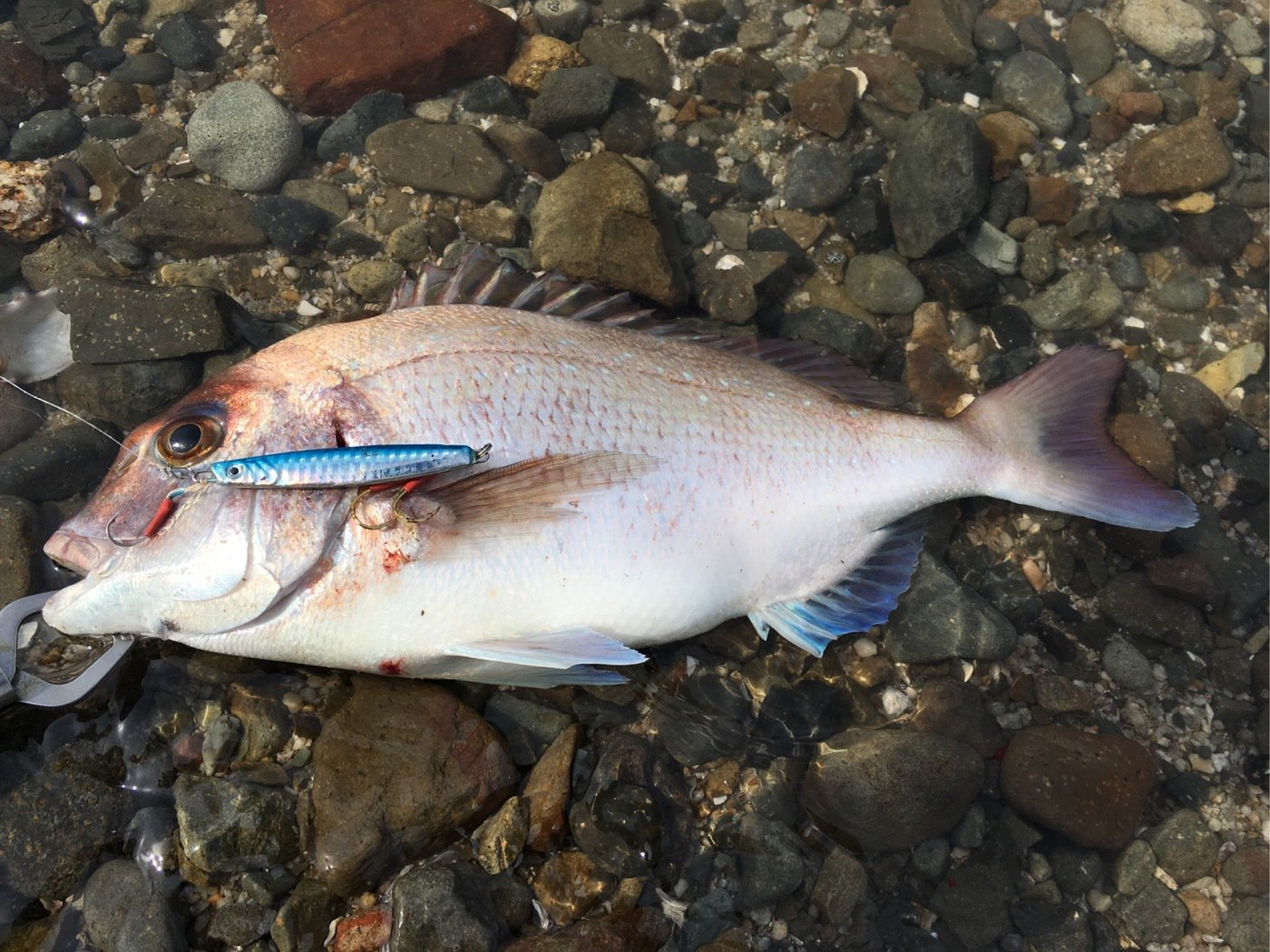 ゆうさんの投稿画像,写っている魚はマダイ