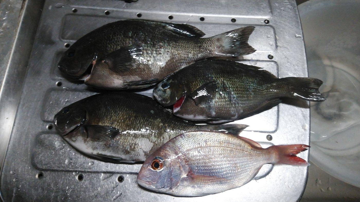 かずくんさんの投稿画像,写っている魚はメジナ,マダイ