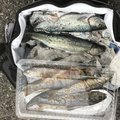 アントノフさんの岡山県英田郡での釣果写真