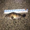 フォール  さんの香川県三豊市での釣果写真