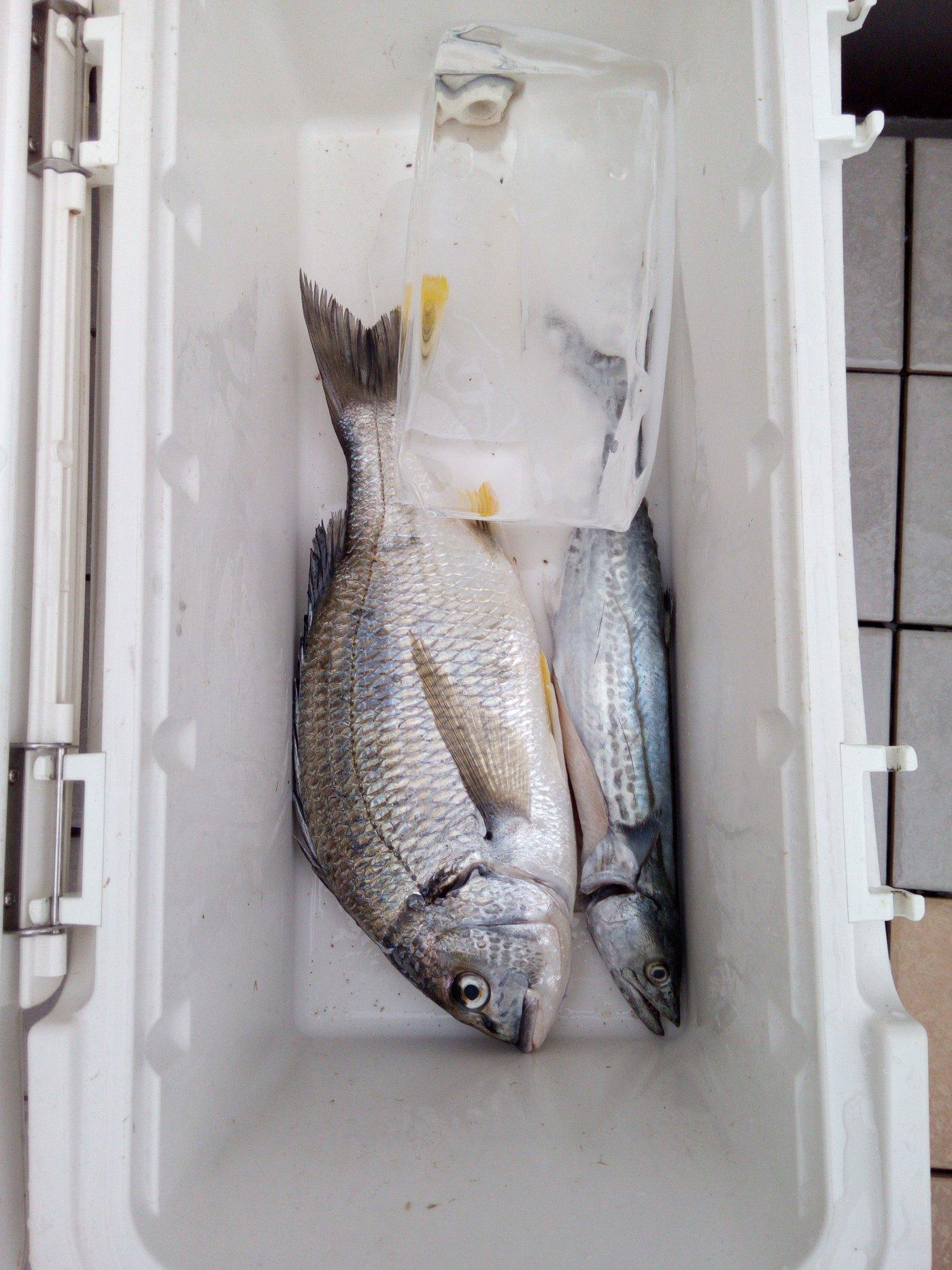 近松門左衛門さんの投稿画像,写っている魚はキチヌ