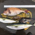 ずいちゃまさんの青森県北津軽郡での釣果写真