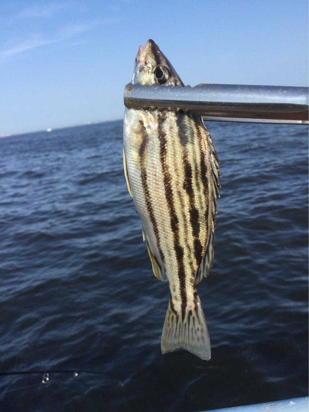 ジョーさんの投稿画像,写っている魚はシマイサキ