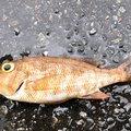 海坊主さんの鹿児島県出水郡での釣果写真