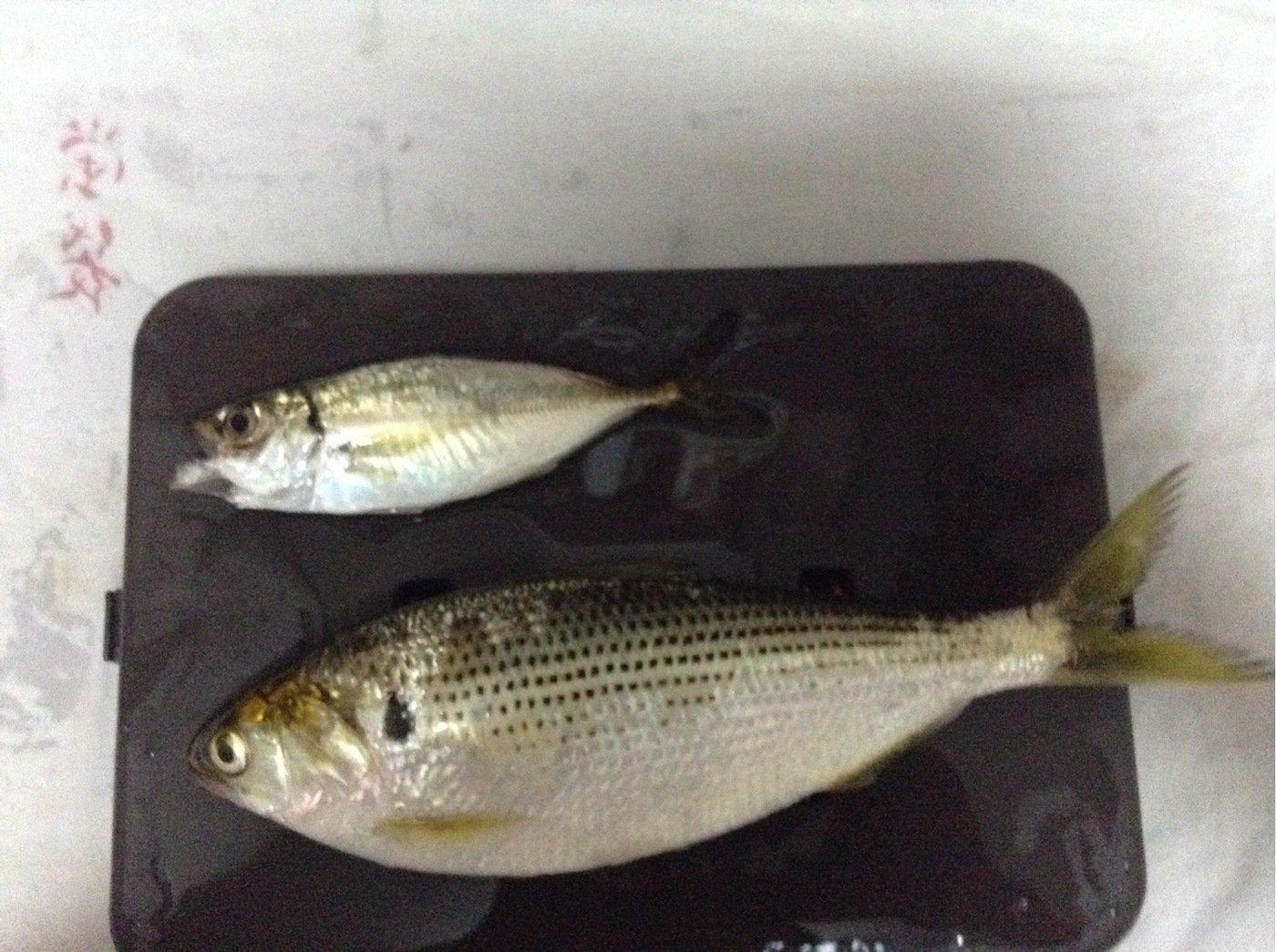 M.Mさんの投稿画像,写っている魚はコノシロ