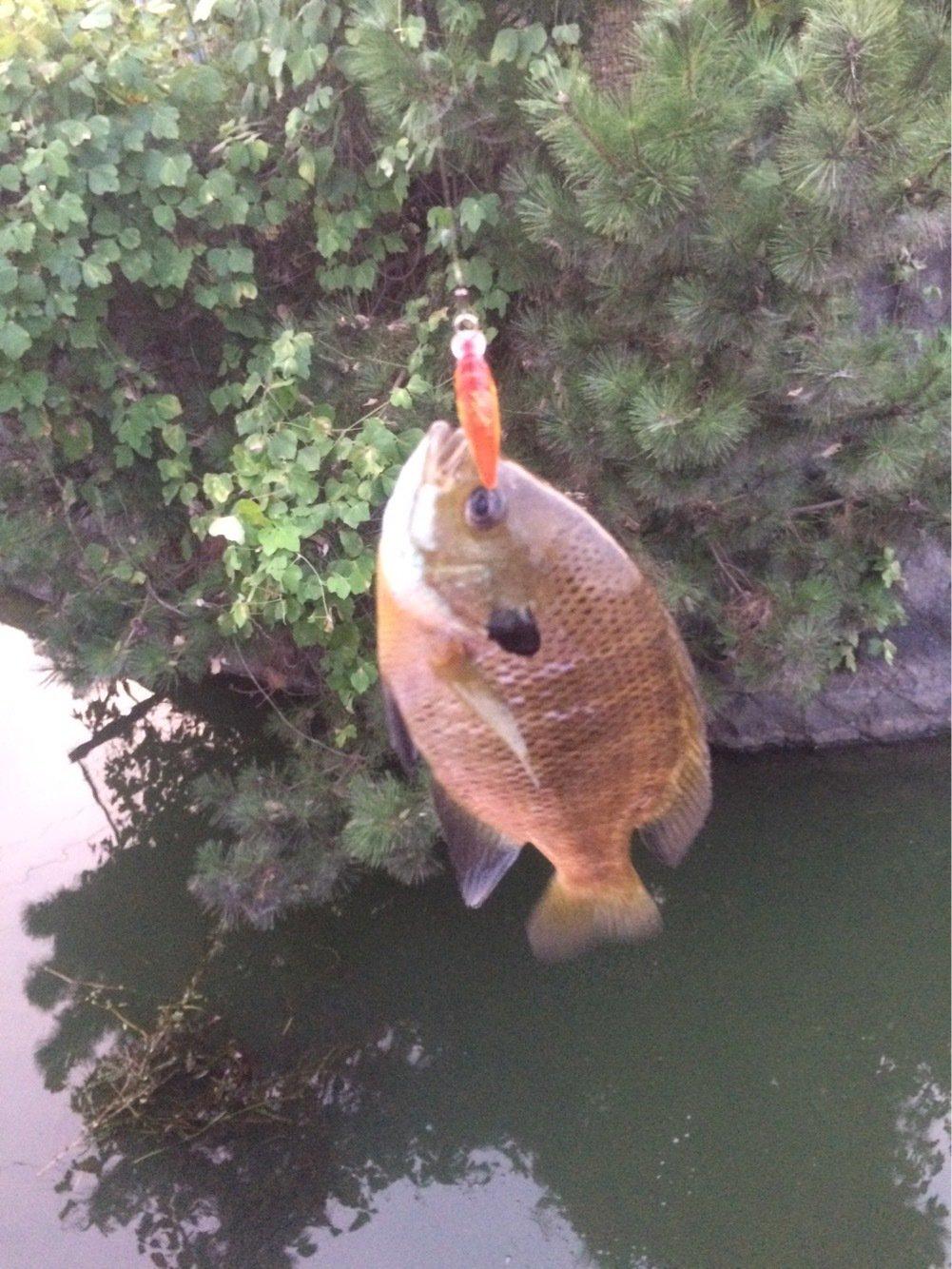 ヒデキさんの投稿画像,写っている魚はブルーギル