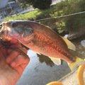 TAGUCHIさんの岡山県赤磐市での釣果写真