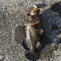 釣り初心者さんの北海道室蘭市での釣果写真