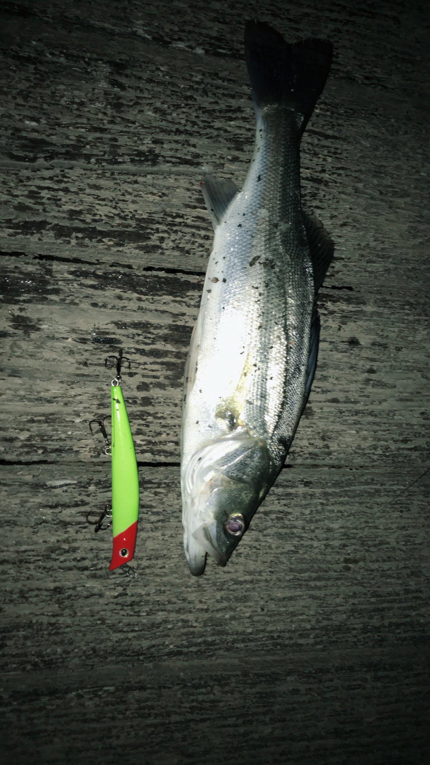 みやさんの投稿画像,写っている魚はスズキ