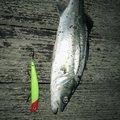 みやさんの千葉県山武市での釣果写真