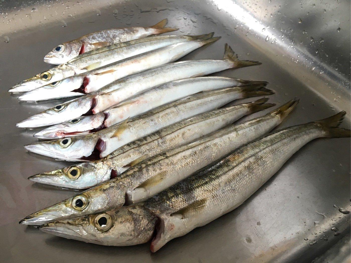 せいたろさんの投稿画像,写っている魚はカマス