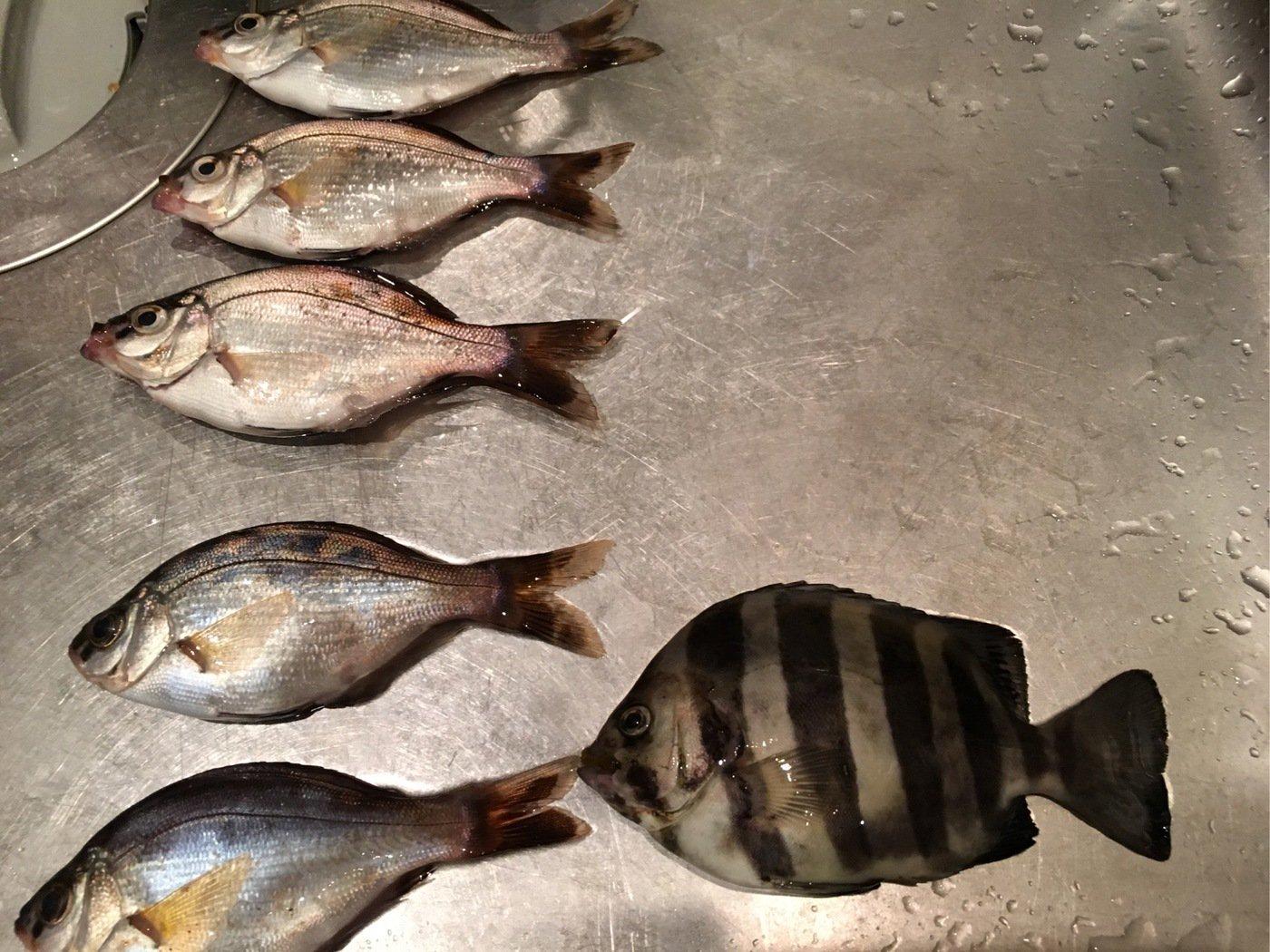 Shinさんの投稿画像,写っている魚はイシダイ
