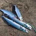 みっちぃさんの石川県野々市市での釣果写真