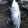 あぶっちさんの北海道寿都郡での釣果写真