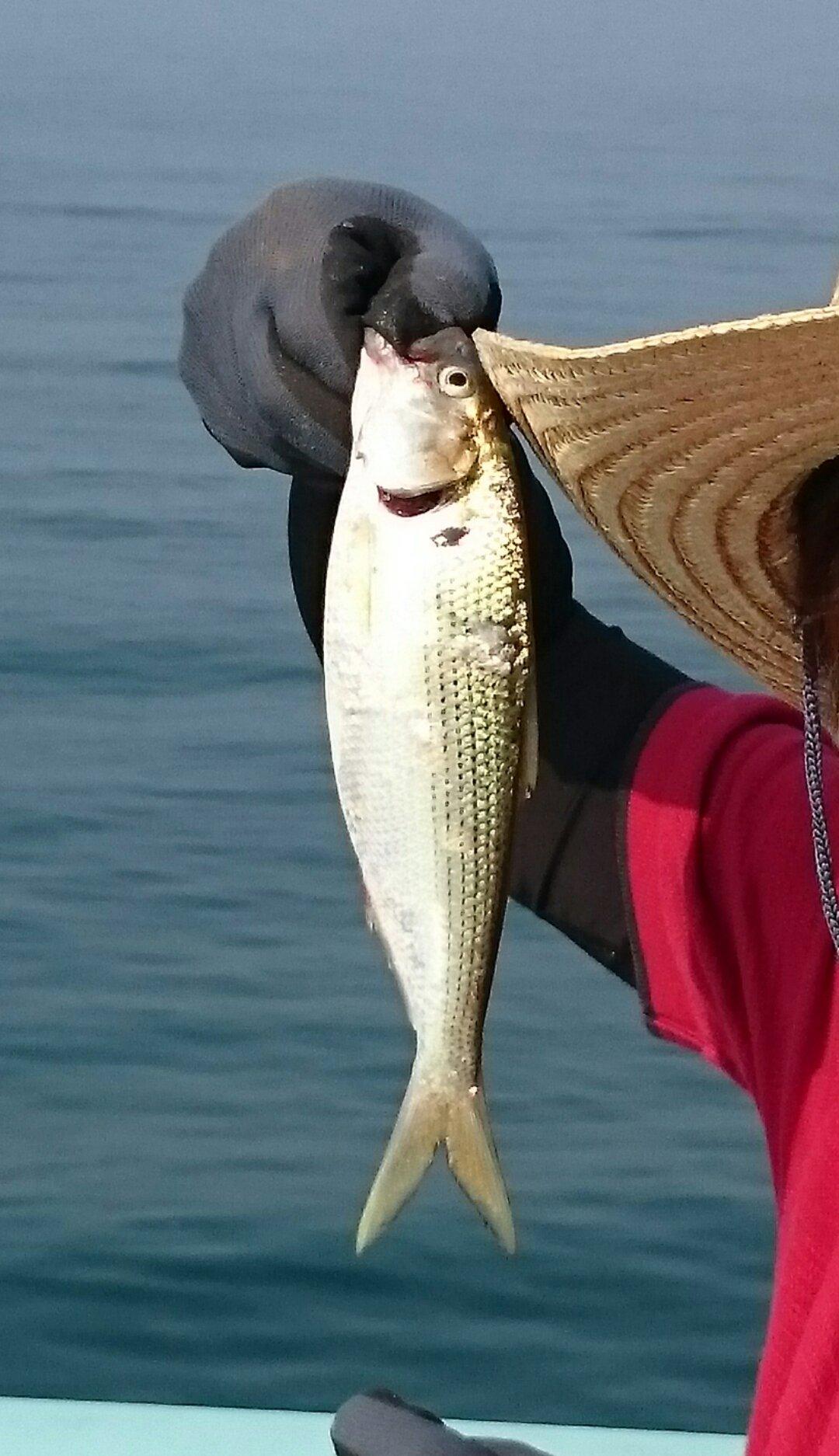 サカモンさんの投稿画像,写っている魚はコノシロ