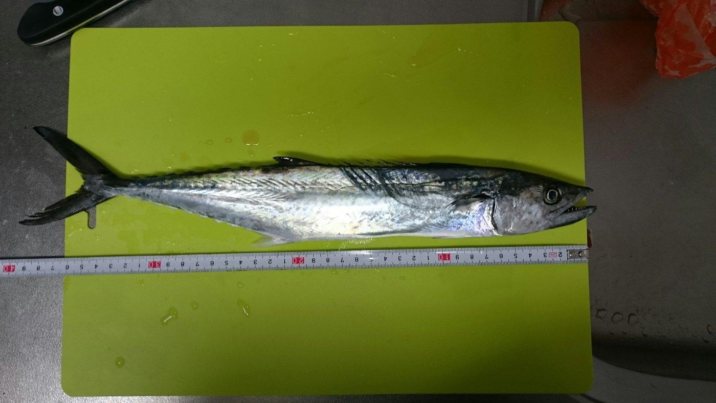 ヤスナリさんの投稿画像,写っている魚はサワラ