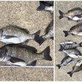まーくんさんの兵庫県南あわじ市での釣果写真