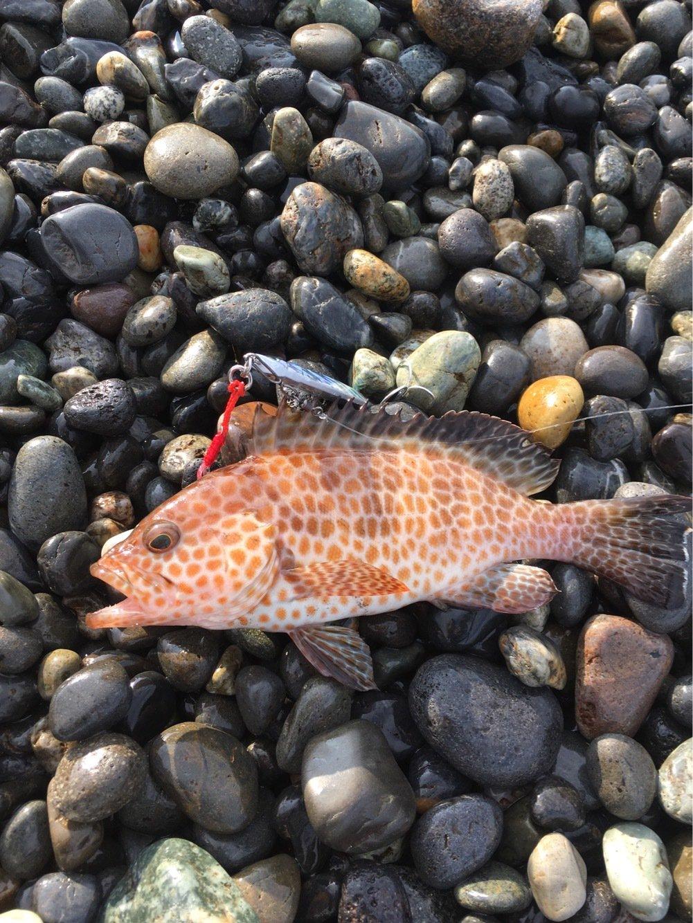 もっちさんの投稿画像,写っている魚はオオモンハタ