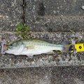 田中奏多さんの福岡県京都郡での釣果写真
