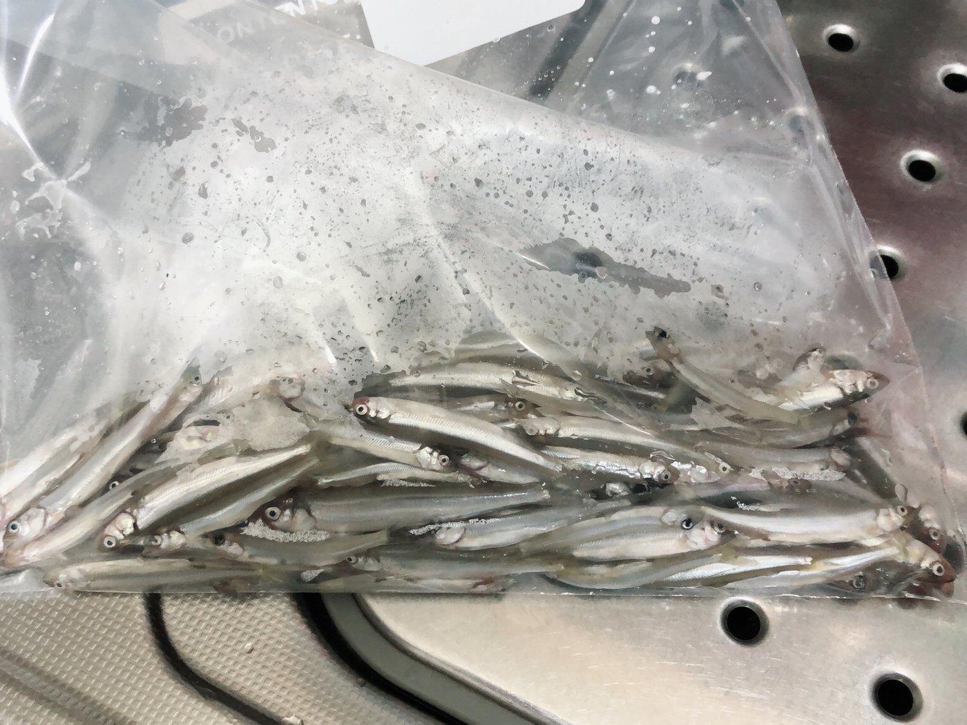 真鯛キング✨さんの投稿画像,写っている魚はアユ