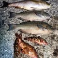 k_aさんの高知県安芸市での釣果写真