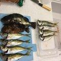 やっちゃんとさんの鹿児島県出水郡でのカサゴの釣果写真