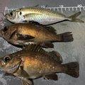 びっきさんの秋田県潟上市での釣果写真