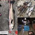 MAX The fishingさんの兵庫県神戸市でのメバルの釣果写真
