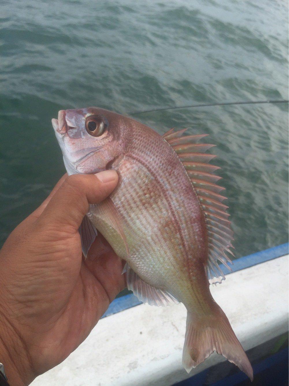 まるたさんの投稿画像,写っている魚はマダイ