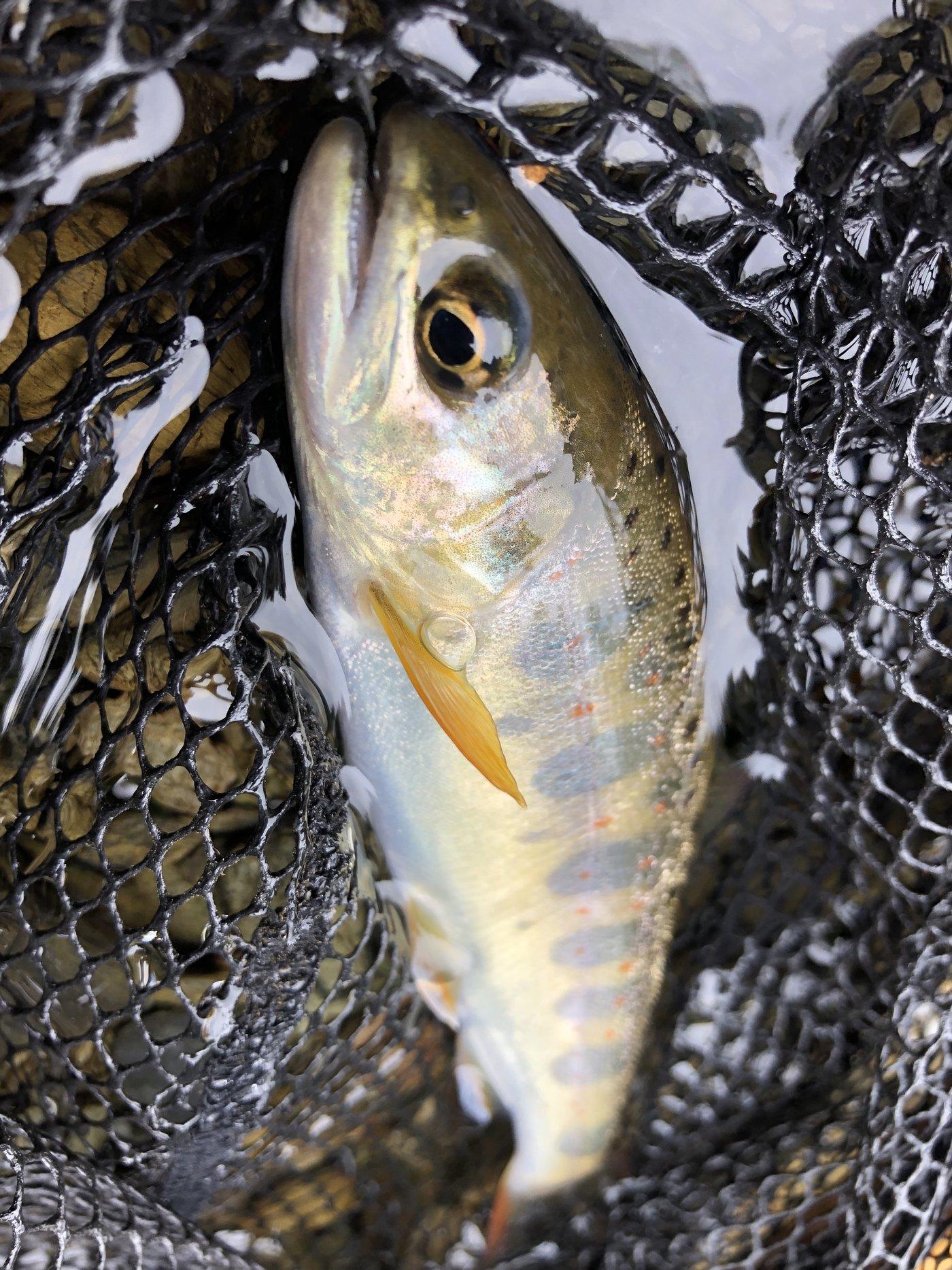 カツミさんの投稿画像,写っている魚はヤマメ