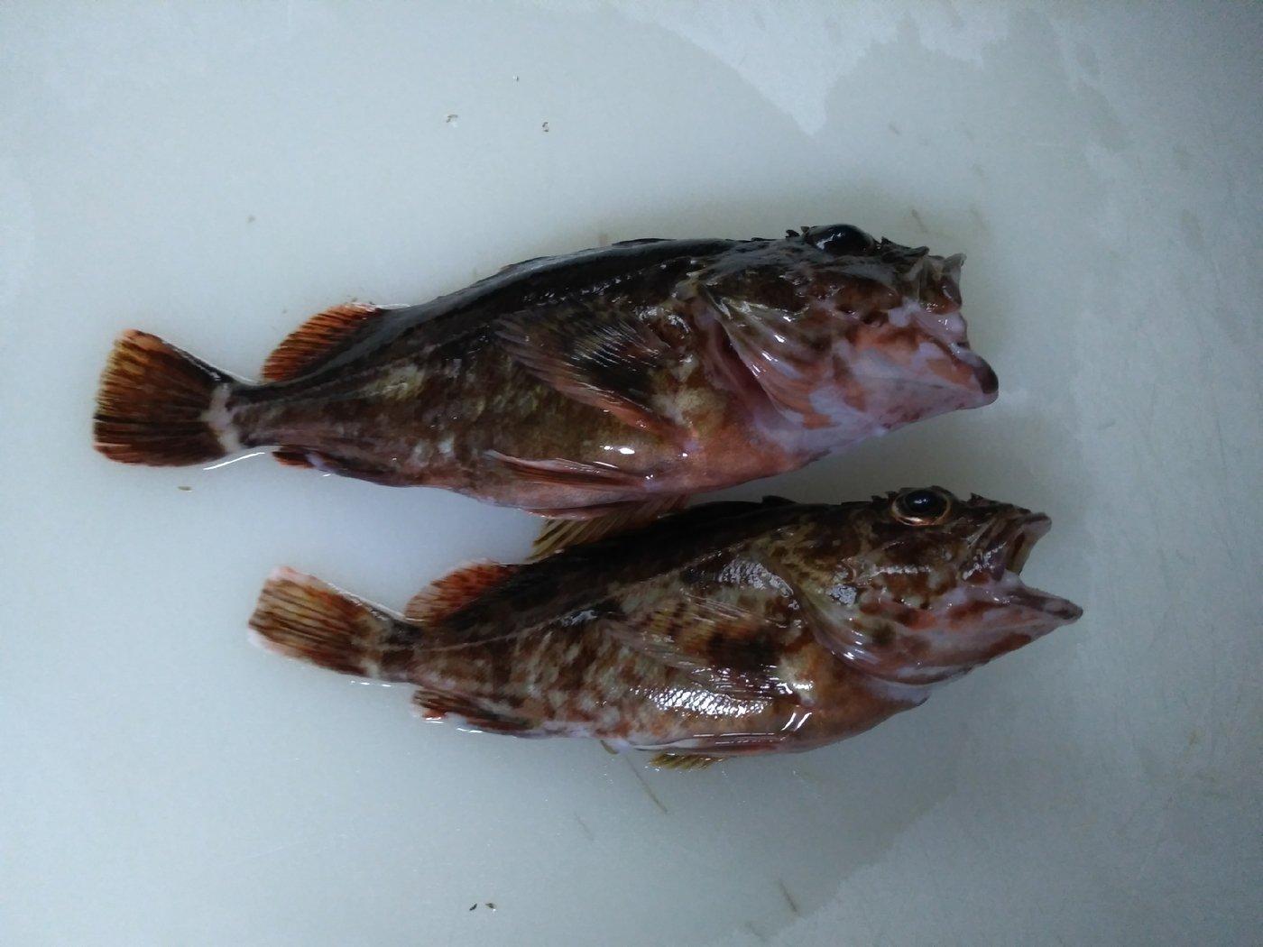 大漁さんの投稿画像,写っている魚はカサゴ