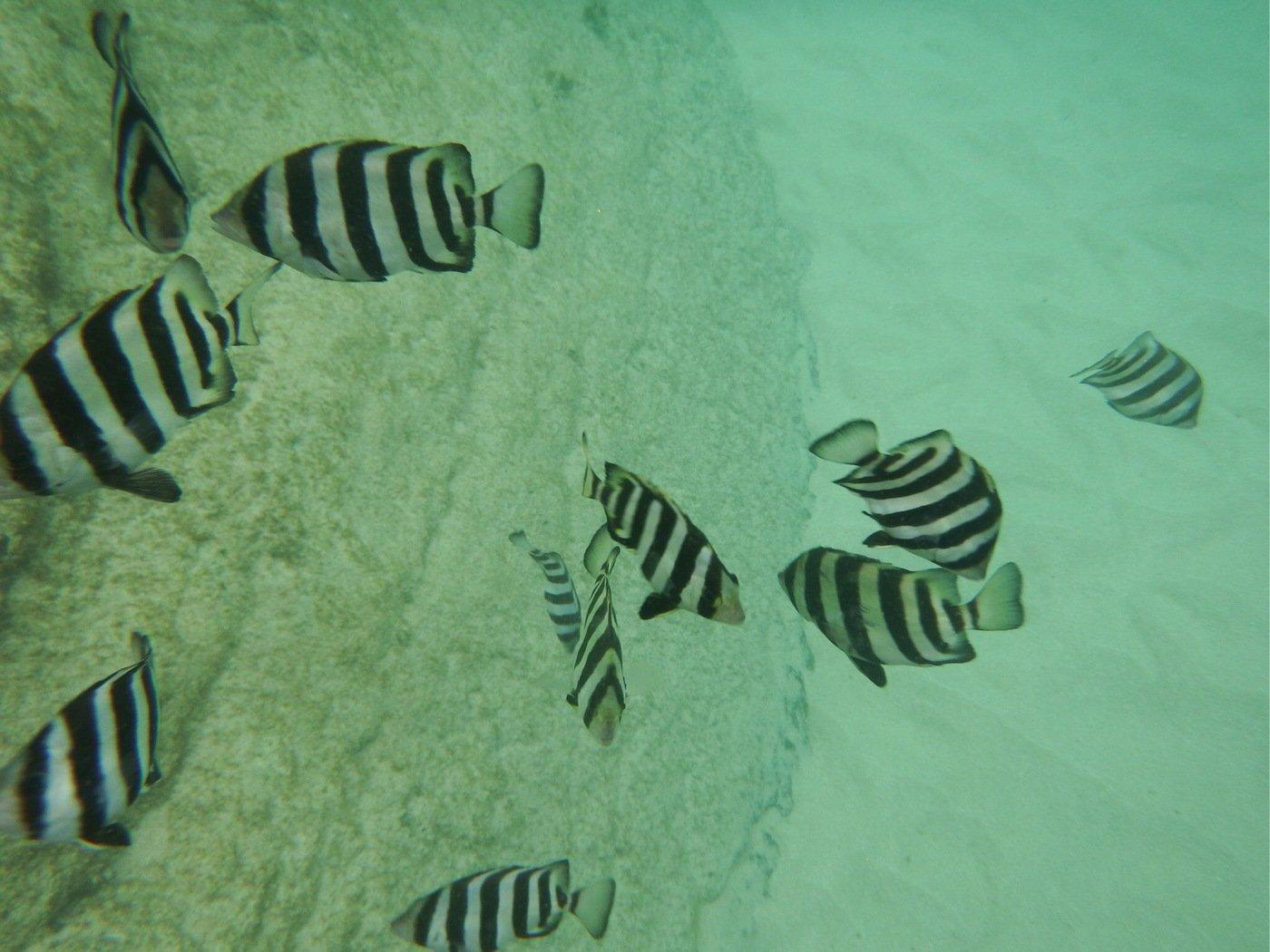 たくさんの投稿画像,写っている魚はイシダイ