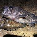 エクイップ2さんの青森県青森市でのソイの釣果写真