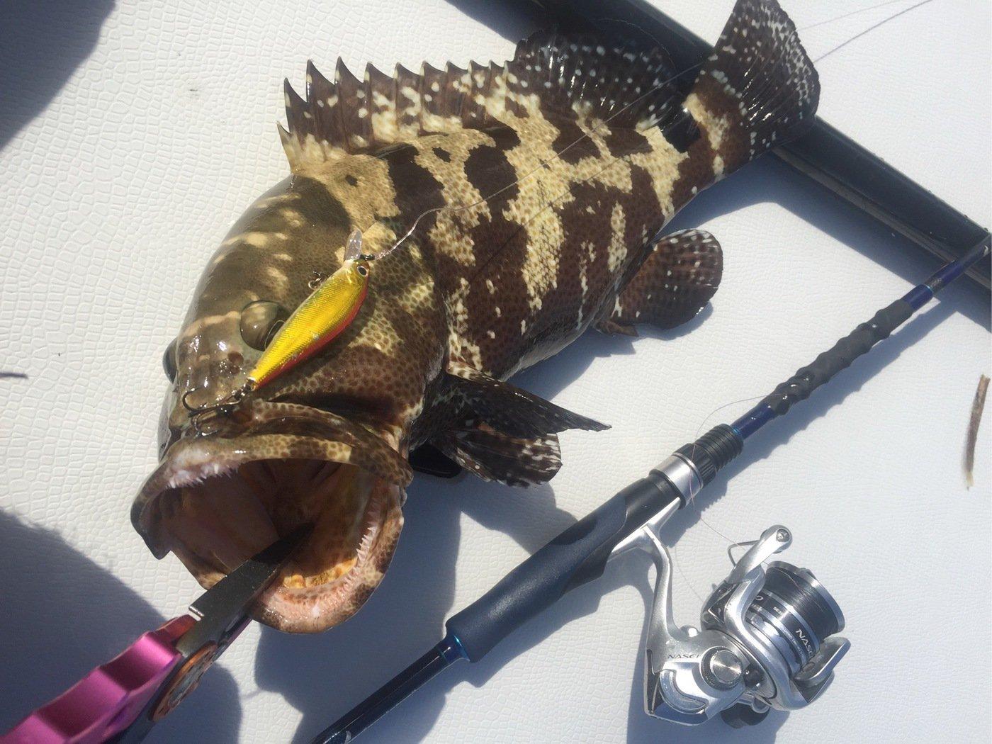 tamatamanさんの投稿画像,写っている魚はヤイトハタ