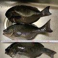 ひとしさんの三重県度会郡での釣果写真