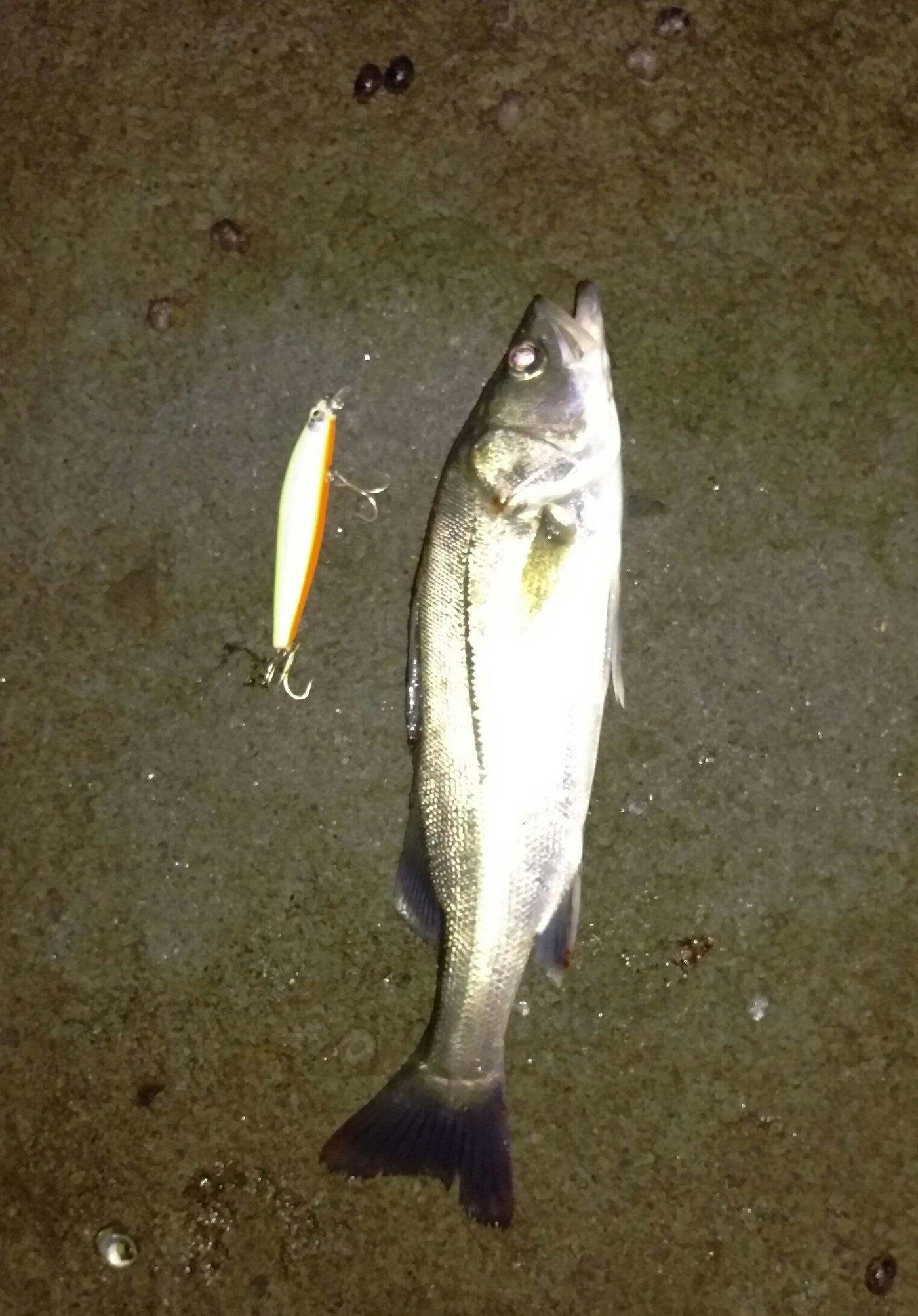 T.Uさんの投稿画像,写っている魚はスズキ