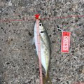 デカ岩さんの石川県珠洲市での釣果写真