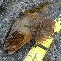 ゴールドさんの青森県西津軽郡での釣果写真