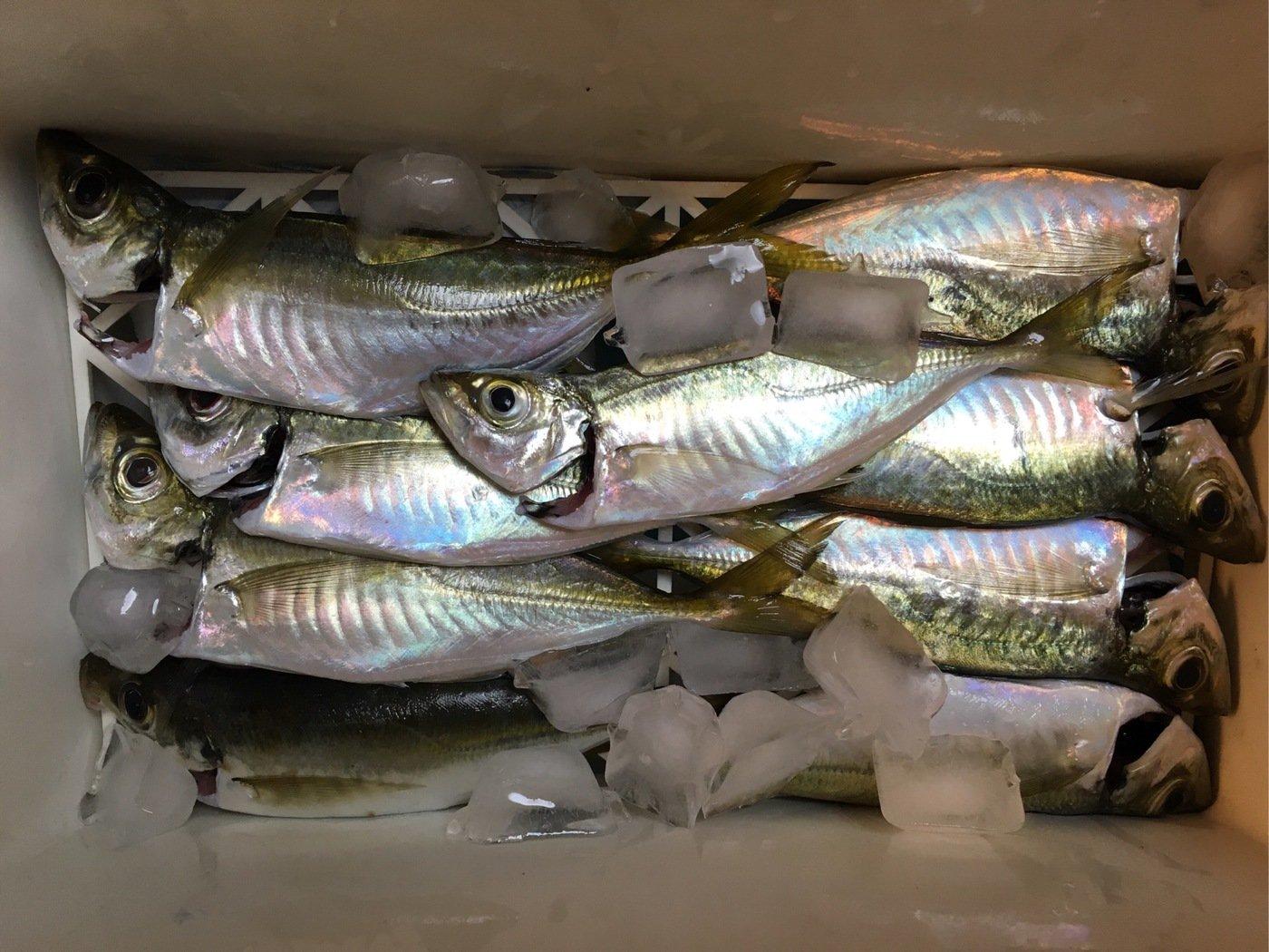 お侍さんの投稿画像,写っている魚はアジ