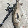 だかとさんの千葉県袖ケ浦市でのスズキの釣果写真