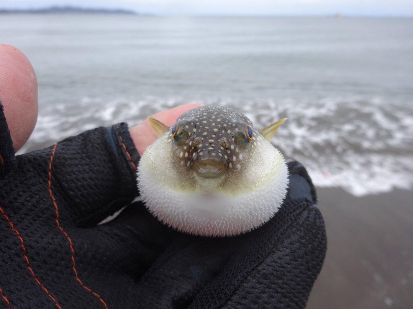 ziiさんの投稿画像,写っている魚はクサフグ