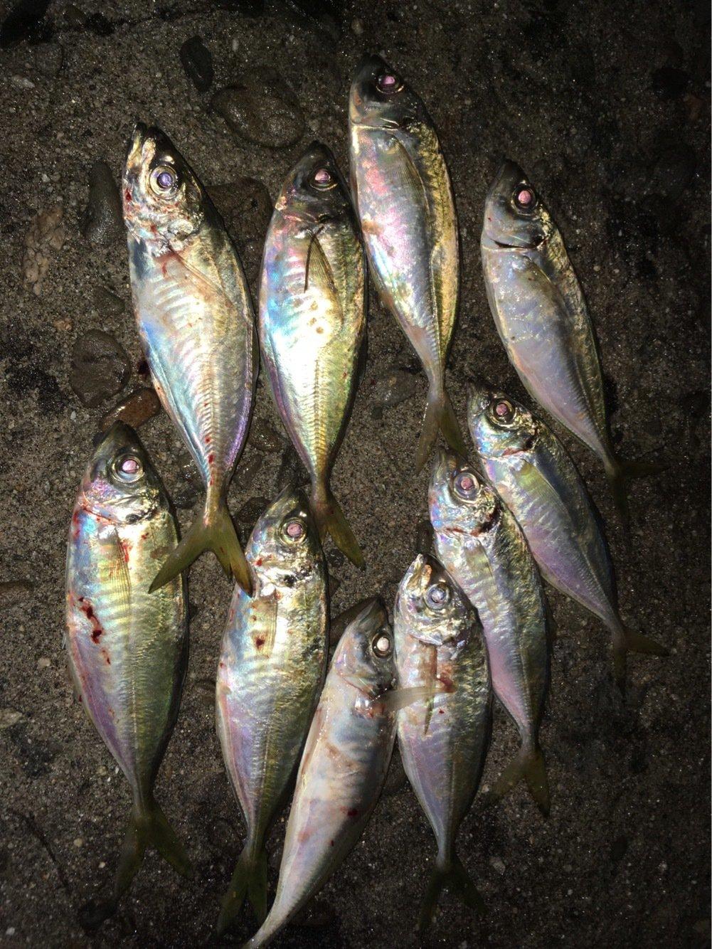 宮川さんの投稿画像,写っている魚はアジ