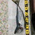 ウナギネコさんの栃木県芳賀郡でのワラサの釣果写真
