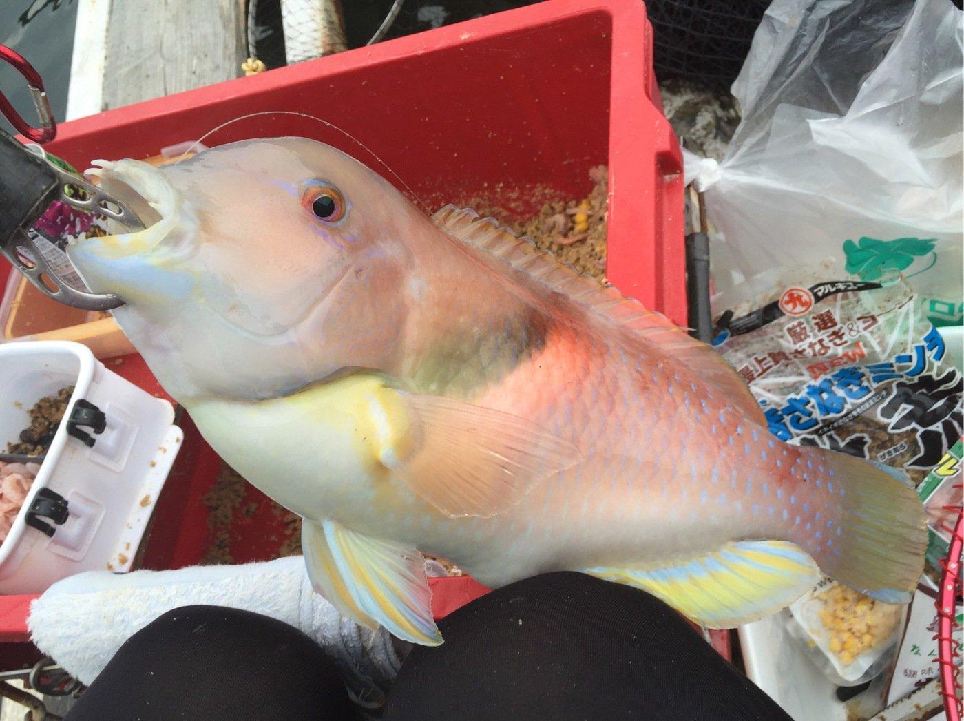 きみ☆チヌlove♡さんの投稿画像,写っている魚はテンス